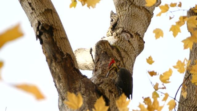 Pileated woodpecker breaking off debris falling down towards camera