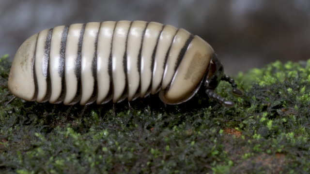 a pill millipede moving over a mossy rock surface - moss stock videos & royalty-free footage