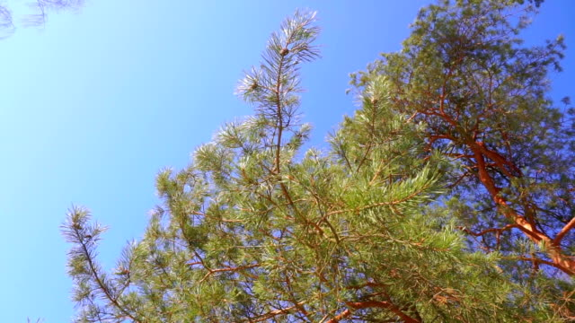Pine and sunny blue sky, slow motion video Pine and sunny blue sky, slow motion video clip saturated color stock videos & royalty-free footage