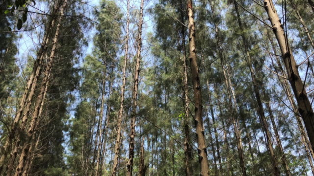 Pine blowing Top of pines blowing during the day in 4K footage. baltic countries stock videos & royalty-free footage