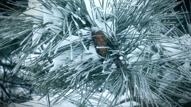Pine branch in winter video