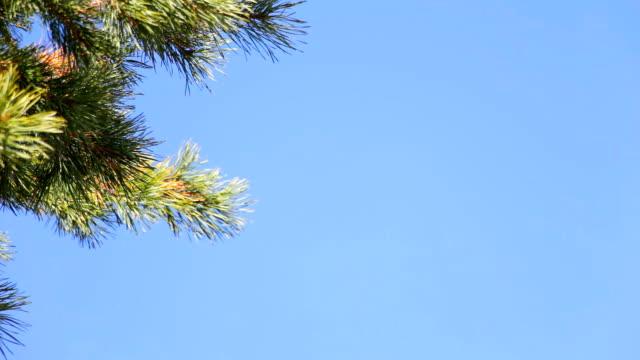 Pine branch on blue sky video