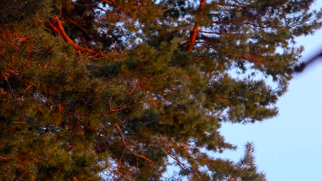 pine branch sunlit, swaying in the wind, against the blue sky, pinecone on a tree video