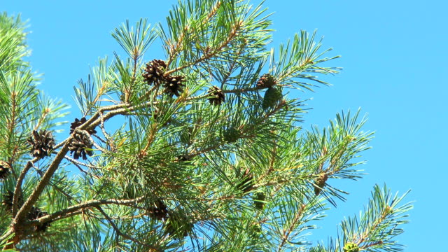 Pine branch with cones video