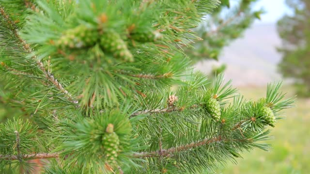 pine branch with green cones with a focus video