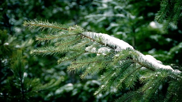 vídeos y material grabado en eventos de stock de pino rama con la nieve en la suave brisa - pino conífera