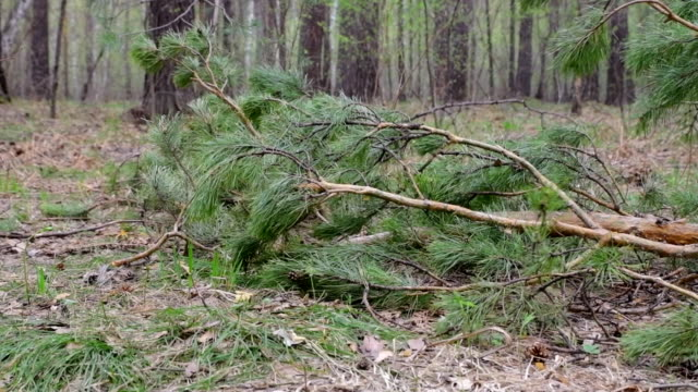 pine branches fall to the ground in the forest. - fronda video stock e b–roll