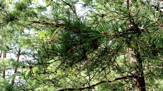 tall grenar för bakgrund - städsegrön växt bildbanksvideor och videomaterial från bakom kulisserna