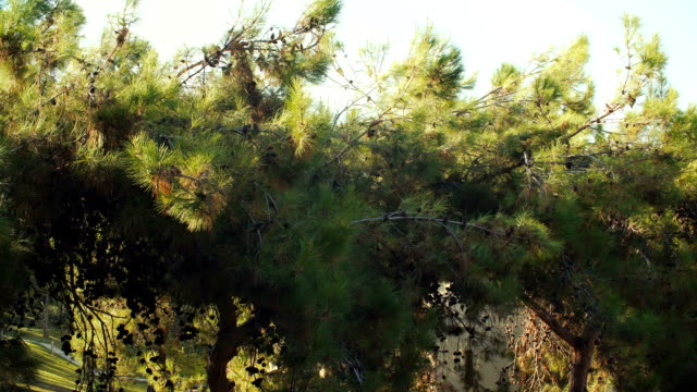 pine branches with cones swaying in summer day - badawczy statek kosmiczny filmów i materiałów b-roll