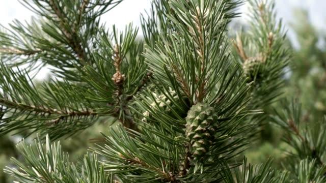 pine branches with cones - wood texture filmów i materiałów b-roll