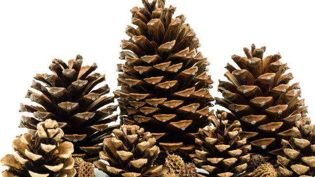 Pine Cone video