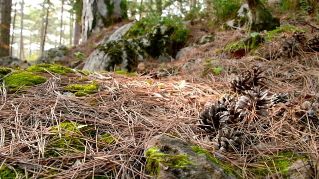 vídeos de stock, filmes e b-roll de pinheiros entre caído folhas em forma de agulhas no chão da floresta - penedo
