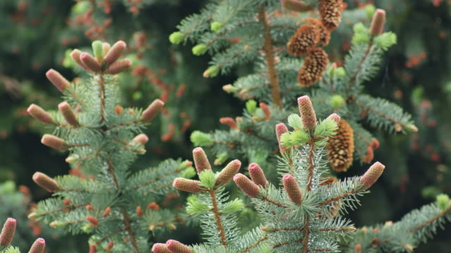 Pine Cones on a Pine Branch video