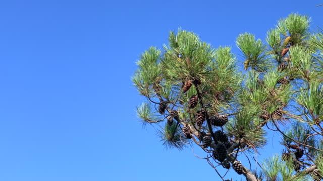 pigna sui rami degli alberi - ramo parte della pianta video stock e b–roll