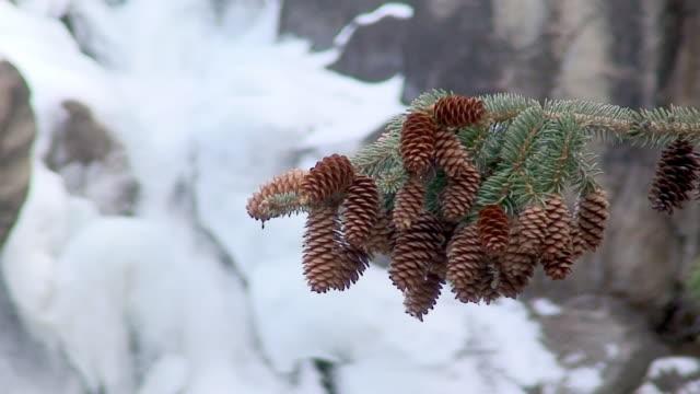pine cones video