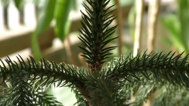 A pine conifer tree with spikes and green pointed leaves