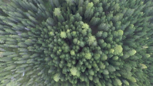 Pine forest. Aerial view 3840x2160,UHD,4K vancouver canada stock videos & royalty-free footage