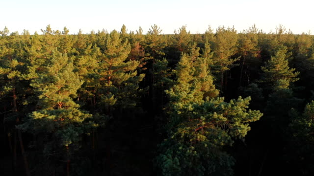 Pine forest, aerial view with drone. Top view in pine wood park Pine forest, aerial view with drone. Forest trees vertical pan. Moving up with a drone to top view in pine wood park. Epic panoramic shot. Summer, sunny day. pine tree stock videos & royalty-free footage