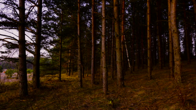 pine forest at dawn video