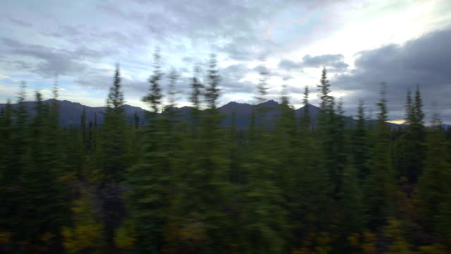 Pine forest at Denali traveling video