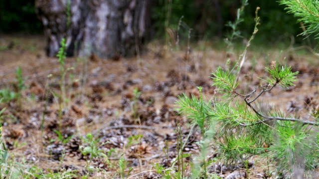 Pine Forest Background video