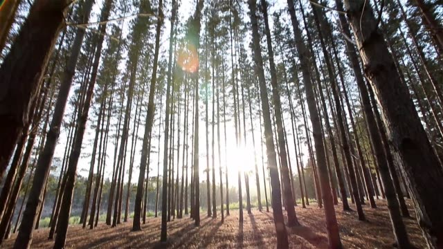 Pine Forest down to up Sunrise in a pine forest moving from the bottom to the top ending in a skylight filled with pine branches all around Cape Town South Africa table mountain national park stock videos & royalty-free footage
