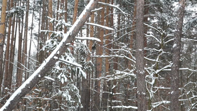 pine forest during a snowfall. - albero caduto video stock e b–roll