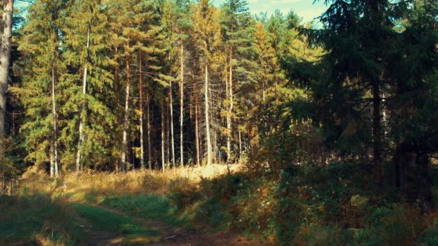 vídeos y material grabado en eventos de stock de borde de bosque de pino - pino conífera