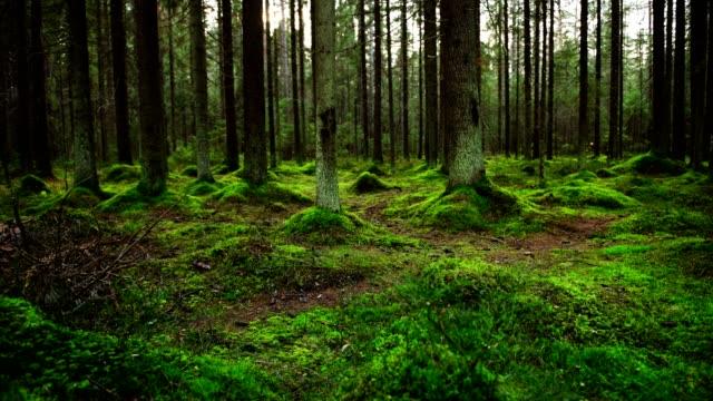 vídeos de stock, filmes e b-roll de chão de floresta de pinho coberto com uma densa camada de musgo - bétula