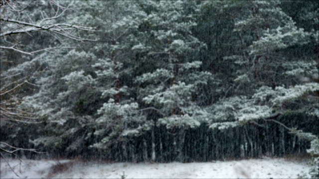 pine forest in snowfall blured background