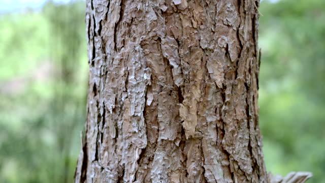 stockvideo's en b-roll-footage met pijnboombos in de ochtend beweegt de camera de pan naar rechts - boomstam