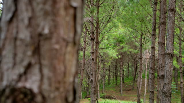 Pine forest in the morning, camera moves pan the to the right Pine forest in the morning, camera moves pan the to the right pine tree stock videos & royalty-free footage