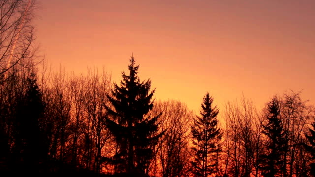Pine forest silhouette. Sunset over forest, clear sky at sunset background video