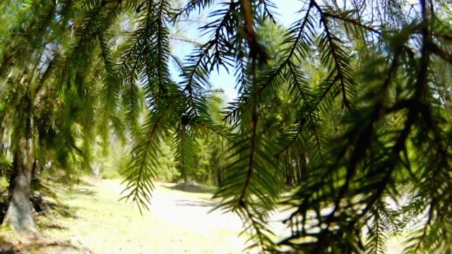 tallskogen genom fir trädgren - städsegrön växt bildbanksvideor och videomaterial från bakom kulisserna
