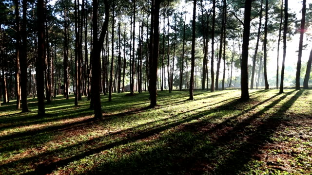 Pine forest with sunrise video