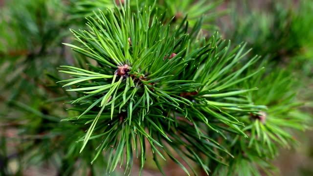 pine macro branch wind video