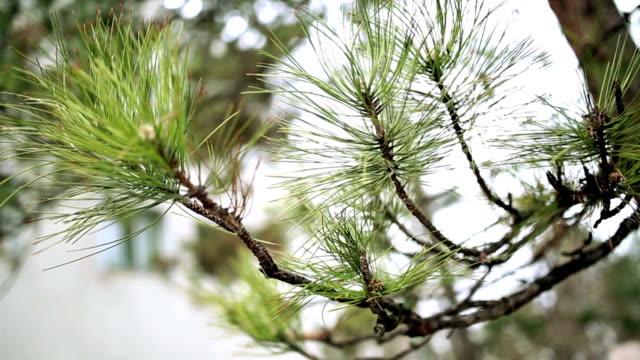 Pine needles video