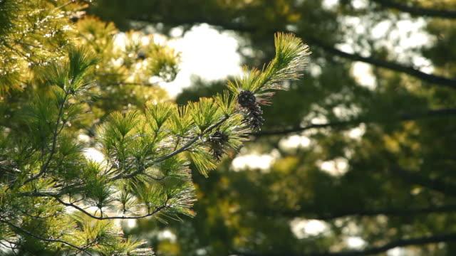 vídeos y material grabado en eventos de stock de pine en viento - pino conífera