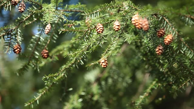 Pine tree and cones closeup video