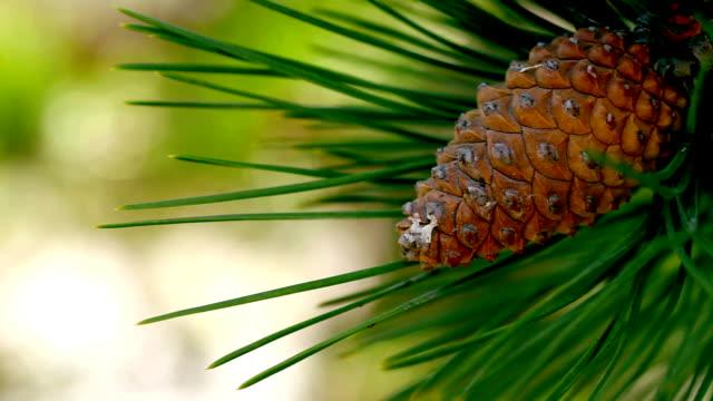 Pine Tree Cone Needles video