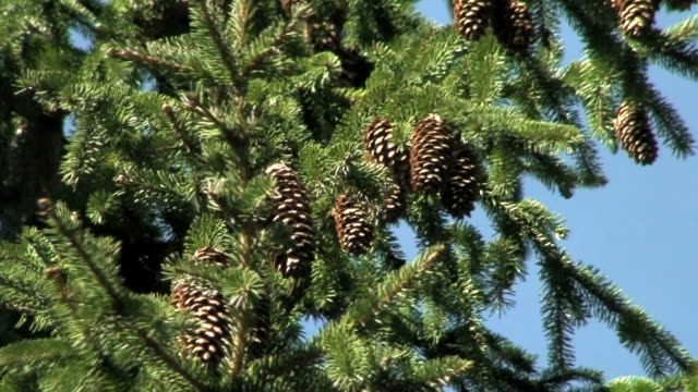 Pine tree cones one (HD1080i/50) video