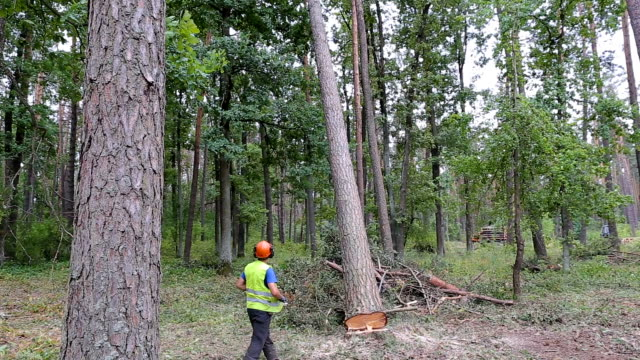 a pine tree falls after being cut. a lumberjack cuts pine wood - albero caduto video stock e b–roll