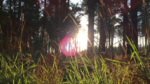 Pine Tree Forest At Sunset video