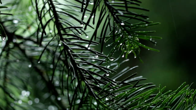 Pine tree in the rain Green pine tree branches moving in the rain and wind. Video background. pine tree stock videos & royalty-free footage