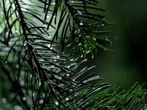 pine tree in the rain - 枝 植物部分 個影片檔及 b 捲影像