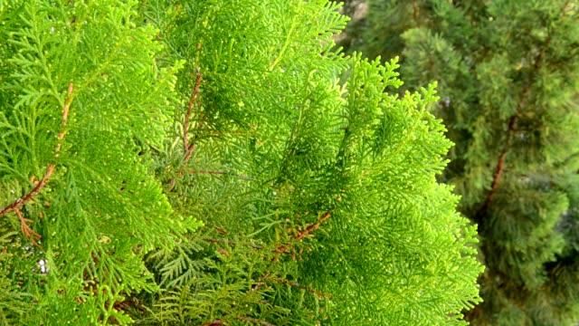 Pine tree leaf video