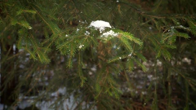 Pine tree motion video