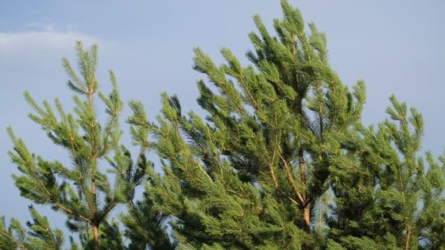vídeos de stock e filmes b-roll de pine tree on background of blue sky - oscilar