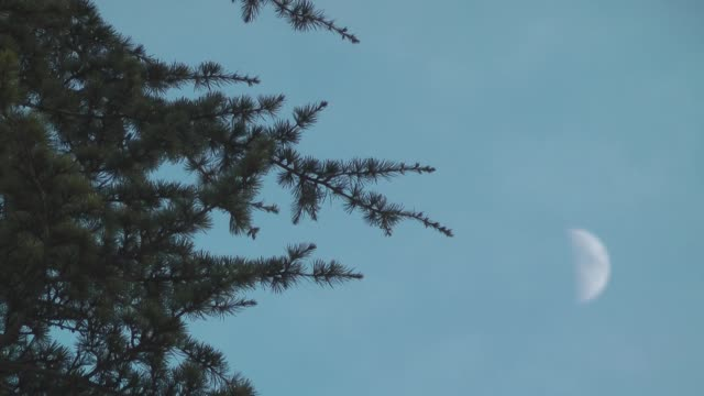 pine tree swaying in the wind. sky and moon. - fronda video stock e b–roll