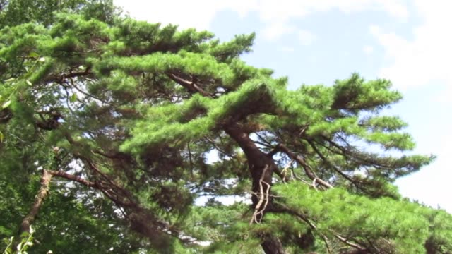 Pine tree swaying in the wind